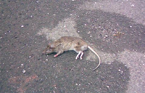 Drži, čisto ta'prava podgana!